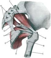 anatomie kyčelního kloubu